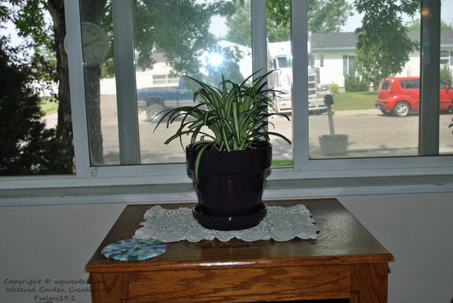 The spider plant.