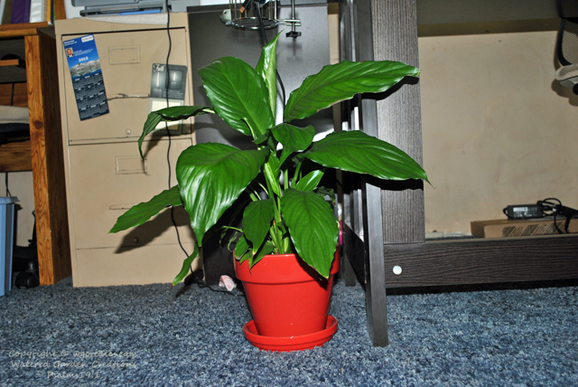 The peace lily.